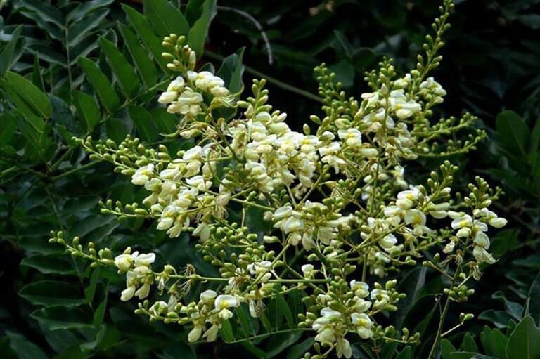 Hoa hòe được xem là dược liệu có thể chữa được khá nhiều bệnh như giãn tĩnh mạch, cầm màu, tim mạch